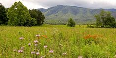 Summer wildflowers bloom in a meadow in Cades Cove.