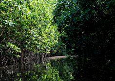 Mangrove forest, Black River, Portland Bight, Jamaica.