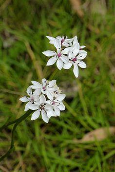 Burchardia umbellata (Milkmaids). Perennial herb with edible tubers.