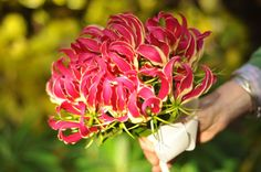Gloriosa Rothschildiana Seeds - Flashy yellow and ruby flowers with wavy, swept-back petals -,Flame Lily a.a fire lily,creeping lily Persian Buttercup, Gloriosa Lily, Fire Lily, Planting Bulbs, Bridal Flowers, House Plants, Seeds, Bouquet, Bloom
