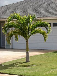 Adonidia Tree (Christmas Palm) : MillenniumNusrery, Landscaping Ideas and Products