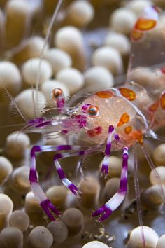 Anemone Shrimp by Volkan Yenel / 500px