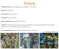 The Usnea herb is cooling with a slightly bitter taste. It's often used when there are signs of heat, inflammation, and infection. Herbal Remedies, Natural Remedies, Herb Shop, Dry Plants, Urinary Tract Infection, Farm Gardens, Medicinal Herbs, Homeopathy, Herbal Medicine