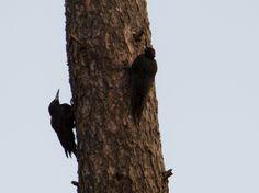 Palokärjet - Woodpeckers Woodpeckers, Plants, Photography, Photograph, Fotografie, Photoshoot, Plant, Planets, Fotografia