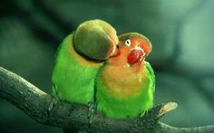 Beautiful colorful birds Kissing