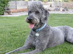 Einstein the mohawk/mustache sporting standard poodle - :)
