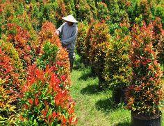 TOKO BUNGA FINAZ | Florist di Jakarta | Jual Aneka Bunga di Jakarta: Cara Budidaya Tanaman Hias Pucuk Merah