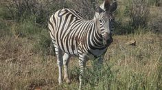 Beautifull zebras eating grass next to the road
