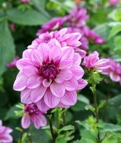 Beautiful Dahlias including 'Seduction' continue to bring brilliant colour to the Cutting Garden for Autumn. Dahlias, Dean, Autumn, Colour, Rose, Garden, Flowers, Plants, Beautiful