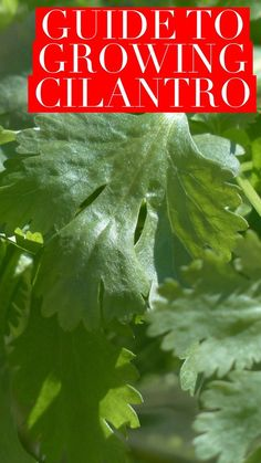 Learn how to grow cilantro, also known as coriander. Great tips on successfully adding this to your herb garden. Good ideas for success. Growing Coriander, Vertical Vegetable Gardens, Home Vegetable Garden, Vertical Garden Diy, Fruit Garden, Edible Garden, Cilantro Plant, How To Grow Cilantro, Cilantro Growing