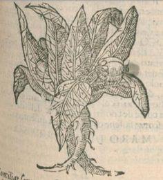 Mandragora, 1636, Castore Durante, Herbario nvovo di Castore Dvrante, Italy, Venetia: Appresso I. Givnti, P. 281 -Detail