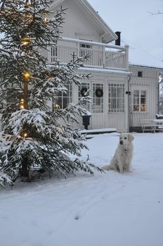 Here we have a white landscape and it's so nice out.  The Christmas tree has snow covered branches.  And our dog, sweet Linus, a faithful friend...as white as snow.  Vita Verandan.