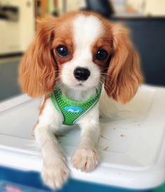 15 Things All Cavalier King Charles Spaniel Owners Must Never Forget – Page 3 – The Paws Perro Cocker Spaniel, Spaniel Puppies, King Charles Puppy, Cavalier King Charles Dog, Cavalier King Spaniel, Cute Dogs And Puppies, Baby Puppies, Doggies, Cute Little Animals