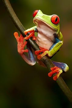 The red eyed tree frog is native to Latin America and, like the coqui frog, is also brought to Madagascar.