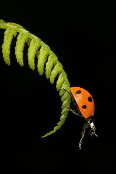 Ladybird on the edge Reptiles, Photo Animaliere, Beautiful Bugs, Lucky Ladies, Number Two, Black Spot, Nature Images, Green And Orange, Macro Photography