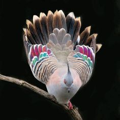 "everythingstarstuff: ""The crested pigeon (Ocyphaps lophotes) spotted in Werribee, Australia Photo: Indra Bone ( "" Pretty Birds, Love Birds, Beautiful Birds, Animals Beautiful, Exotic Birds, Colorful Birds, Crested Pigeon, Animals And Pets, Cute Animals"