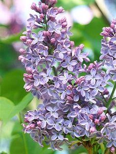 Blue lilacs by helga