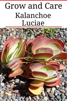 """Kalanchoe Luciae """"Flapjack Succulent"""""""