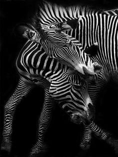 Jeu de Zèbres by Jacques Millet. Black and white animals. Animals that start with Z. Mammals that live in herds. Amazing Animals, Animals Beautiful, Cute Animals, Wild Photography, Animal Photography, Wildlife Photography, Mundo Animal, My Animal, Zebras