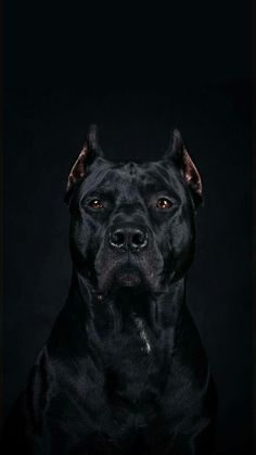 Amazing Protrait of A Cane Corso-An. Amazing Protrait of A Cane Corso An. Amazing Protrait of A Cane Corso - Pitbull Wallpaper, Dog Wallpaper Iphone, Tier Wallpaper, Animal Wallpaper, Pitbull Noir, Beautiful Dogs, Animals Beautiful, Scary Dogs, Cane Corso Dog
