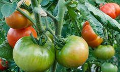 Сода для помидоров и огурецов Planting Vegetables, Fruits And Vegetables, Vegetable Garden, Garden Trellis, Small Farm, Plantar, Farm Gardens, Diet And Nutrition, Health