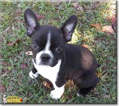 Read Meryl's story the Boston Terrier from Reynolds, Georgia and see her photos at Dog of the Day http://DogoftheDay.com/archive/2014/April/30.html .