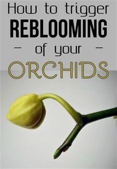 How To Trigger Reblooming Of Your Orchids - Gardaholic.net #GardeningTips