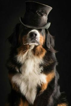 Bernese Mountain Dog | Paul Croes