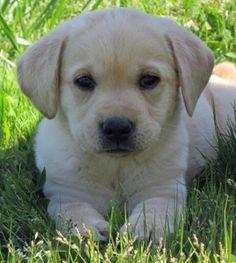 Beautiful A.K.C Labrador Puppy