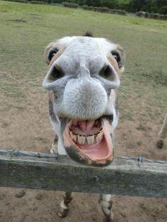 the wonderful smile of a happy donkey