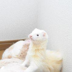 Baby Ferrets, Funny Ferrets, Pet Ferret, Pretty Animals, Cute Little Animals, White Ferret, Animals And Pets, Funny Animals, Otter