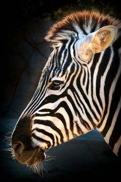 Zebras are equids, members of the horse family. They have excellent hearing and eyesight and can run at speeds of up to 35 miles per hour (56 kilometers per hour). They also have a powerful kick that can cause serious injury to a predator, like a lion, a hyena, or an African wild dog. Profile of Zari the zebra by Peter Csanadi