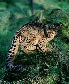 The marbled cat, Pardofelis marmorata, has large, dark blotches on its fur. It lives in the jungles of South-East Asia and hunts among the trees at night