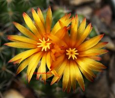 cactus flowers pictures | Cactus Flower by *theresahelmer on deviantART