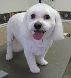 short maltese haircuts | Magic's Pet Salon - Photo Gallery