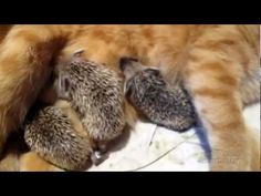 Mama cat adopts baby hedgehog What? I Love Cats, Crazy Cats, Unlikely Animal Friends, Animals And Pets, Cute Animals, Mother Cat, Mama Cat, Foster Mom, Cute Cat Gif