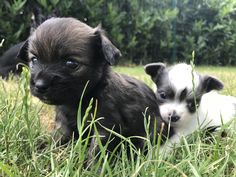 Brother and sister chihuahua http://ift.tt/2t5CMNg