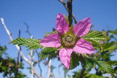 Salmonberry by Adam R. Paul, via Flickr