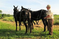 A man and his mules... Courtesy: Cindy Croskey-Hollingshead, eyesofhumor