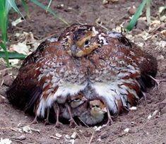 Northern Bobwhite Quail Mama & chicks.  The mama is keeping her babies warm!