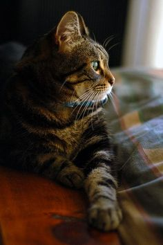 outdoormagic:    lindayoshida:  20071018 deep thoughts on Flickr.  my handsome tabby boy. #TabbyCat