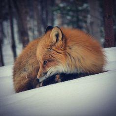fox waking up winter cape breton Красивые животные pinterest