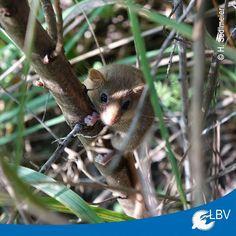 Kleinste Nagetierart Europas in München entdeckt!  Die #Zwergmaus ist die kleinste Säugetierart Europas. Sie ist lediglich etwa 10 Gramm schwer. Erstmals überhaupt wurde jetzt ein Vorkommen in #München entdeckt. Das charakteristische #Kugelnest fiel einem ehrenamtlichen Biotoppfleger bei der Kontrolle von frisch gepflanzten Büschen auf. Das Vorkommen liegt in einem vom LBV seit 14 Jahren betreuten Biotop im Münchner Stadtbezirk #Trudering/ #Riem.  #harvestmouse #mouse #maus #nagetier #munich…