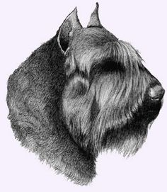 Bouvier des Flandres - I wish mine would allow me to groom him to look like this! Lol!   Allow is the key word!
