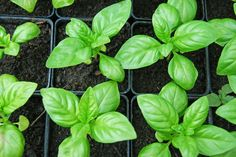 Basil Basil is so effective at repelling mosquitos (and adding a delicious flavor to Italian fare!) that you'll want to grow it all around your house. Windowsills, porches, the garden . . . the possibilities are endless!