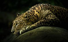 leopard, predators, wild cat, hunting, wildlife