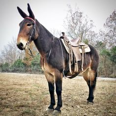 George is a hand Percheron Draft John Mule. Ride , Drive ( single or double) , pack ! 10 years old ALL AROUND SEASONED MULE ! Safe for any level rider or driver and sound. Horse Love, Horse Girl, Beautiful Horses, Animals Beautiful, Pretty Horses, Draft Mule, Mules Animal, Farm Animals, Cute Animals
