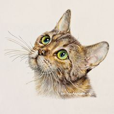 Tabby – Coloured Pencil Cat Portrait, by Angie