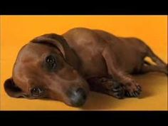 Pedigree Commercial - Rub belly  LOVE this commercial!!!  Video.