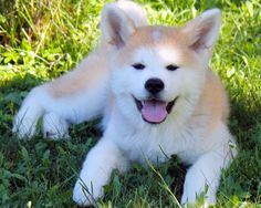 Pretty Animals, Cute Animals, Japanese Akita, Akita Dog, Shiba Inu, My Animal, Dogs And Puppies, Cute Pictures, Husky